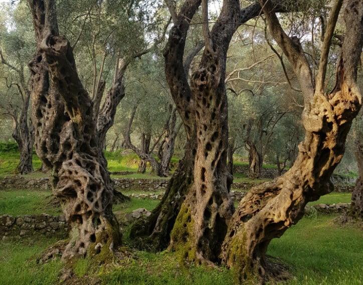 AGROTURIZMUS: Lassú gasztro albán módra AGROTURIZMUS: Lassú gasztro albán módra olajfak valdanos ulcinj montenegro