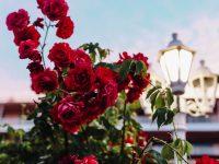 ШИРОКА МЕЛНИШКА ЛОЗА: churchill bolgár szerelme ШИРОКА МЕЛНИШКА ЛОЗА: Churchill bolgár szerelme bolgar rozsak 200x150